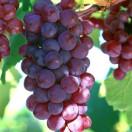 鸡泽县富民葡萄种植专业合作社
