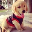 爱金毛狗狗
