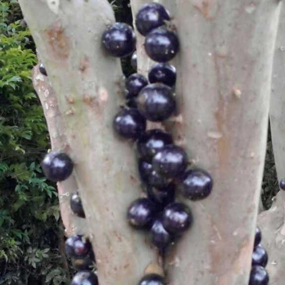 台湾树葡萄