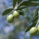 橄榄树幼教