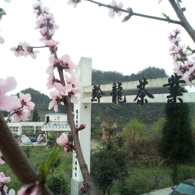 贵州省普定县黔龙茶业