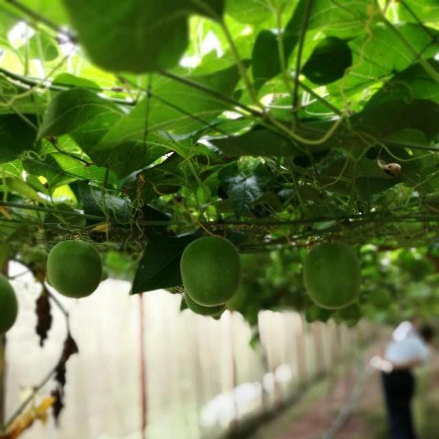 江西省罗汉果现代农业科技