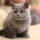一只流浪的曼曼猫