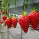 康乐草莓园