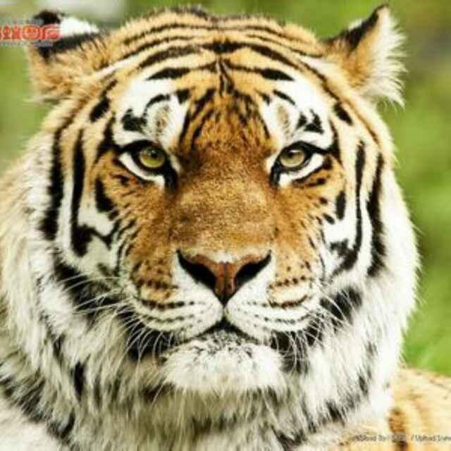 自由自在tiger
