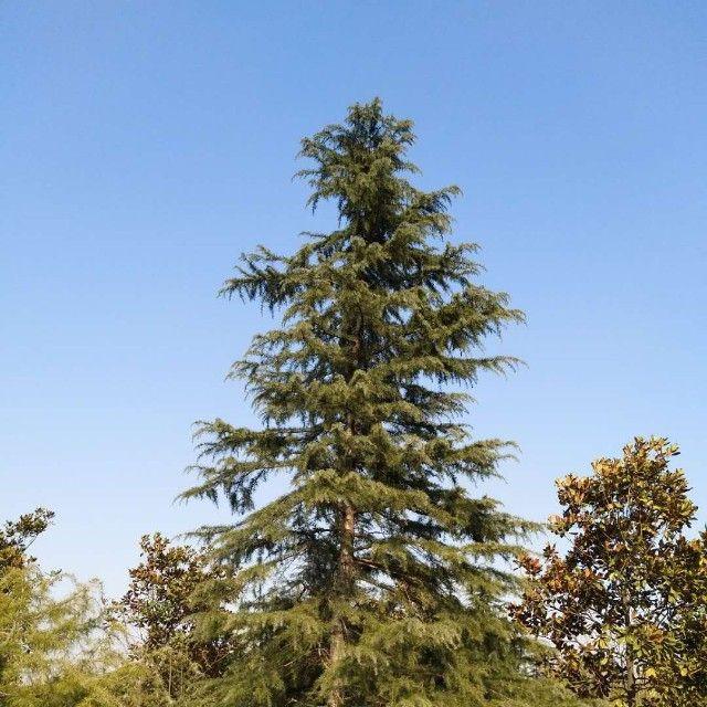 雪松苗木产地