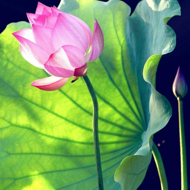 伟大的玫瑰8