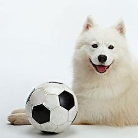 萨摩耶狗狗宠物控